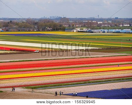 Rows of colorful tulips on spring fields Holland