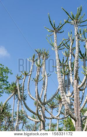 Tall and impressive Candelabrum Cactus in Angola. These cacti reach the heights of trees.