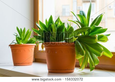 two sansevieriya stand on the windowsill in room