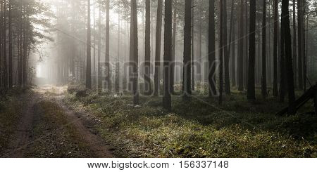 Misty pine forest and dirt road with bright sunlight behind the trees.