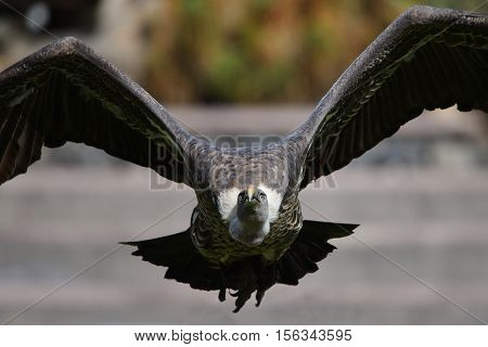 White-backed Vulture (Gyps africanus) in flight