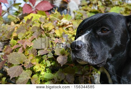 Closeup of black dog with colorful ivy leaves in background