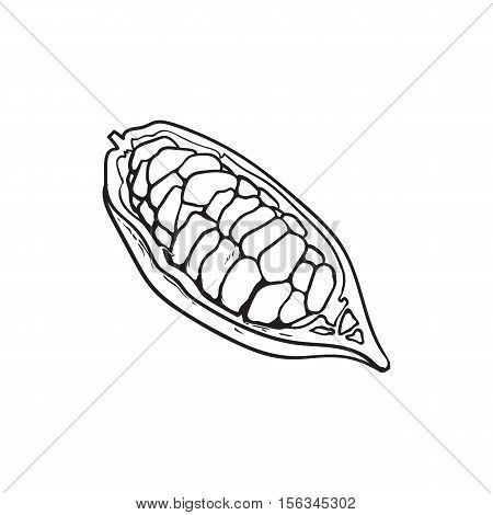 Half of ripe cacao fruit with cocoa beans inside, sketch style hand drawn vector illustration isolated on white background. Colorful illustration of half cacao fruit, chocolate beans in pod