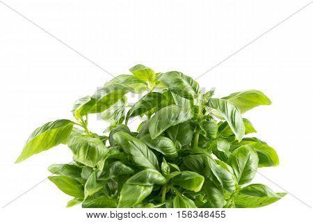 Fresh Green Leaf Basil