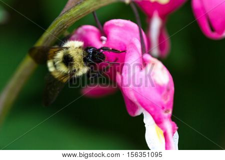 Bumble Bee On A Bleeding Heart