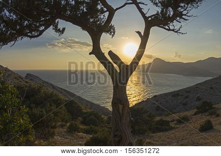 View on the setting sun through the fork in the trunk of a treelike juniper. Crimea September.