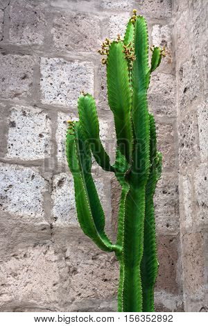 large cactus on the background of brick wall