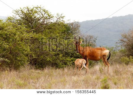 Red Hartebeest With Her Baby
