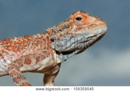 Portrait of a ground agama (Agama aculeata) against a blue sky, South Africa