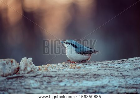 Birds and animals in wildlife. View of beautiful tit which sits on a branch and eats meal under sunlight landscape. Sunny, amazing, colored tit bird image.