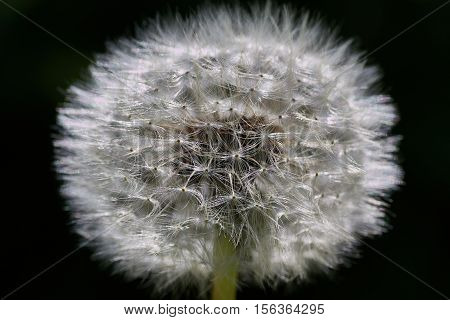 Dandelion fluff close up. Nature background concept.