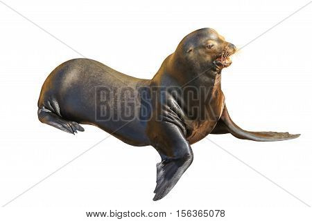 California sea lion posing, Zalophus californianus, isolated on white background in Baja California, Mexico. Side wiew.