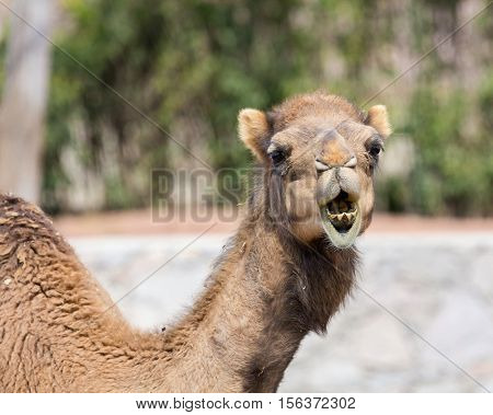 Arabian camels, also known as dromedaries, have only one hump, but they employ it to great effect. The hump stores up to 80 pounds, 36 kilograms of fat