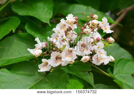 Closeup of catalpa tree blossoms in summer. Catalpa is also known as catawba and is native to warm temperate and subtropical regions of North America the Caribbean and East Asia.
