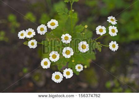 Feverfew flowers (or Bachelor's Buttons Featherfew Featherfoil Flirtwort). Tanacetum Parthenium medicinal herb