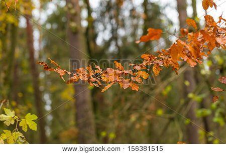 Beautiful Orange Hornbeam Leaves Hanging On Branches