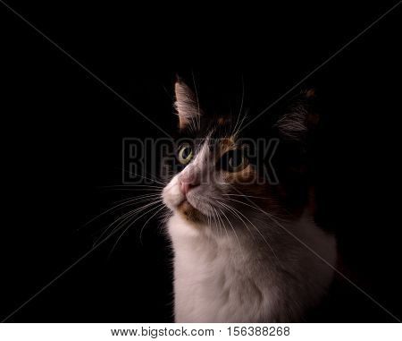 Calico cat with black, white and ginger, looking up, lit from one side, on dark background