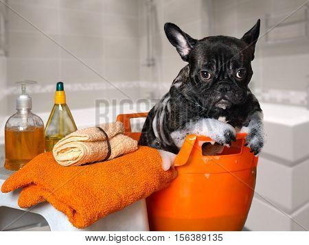 Funny dog wash in a basin taking a bath