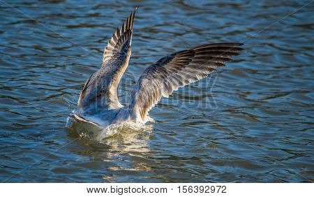 Ring-billed (Larus delawarensis) seagull landing on water