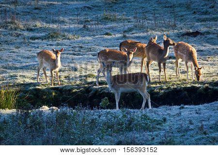 Deer on frozen meadow at sunrise in autumn