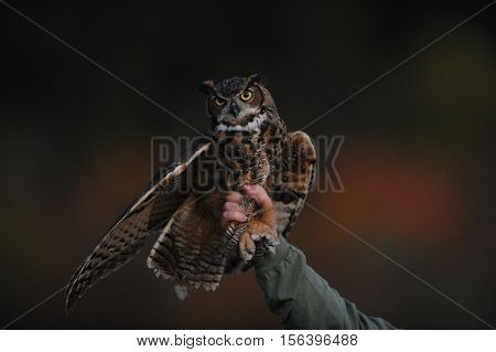 young brown yellow eyed owl in handlers grasp