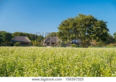 The field of Buckwheat or Soba in Japanese with Japan old traditional house in sunny day.