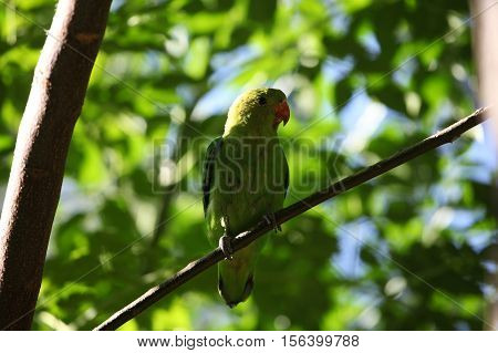 A black-winged lovebird (Agapornis taranta) in a tree in Ethiopia.