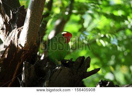 A black-winged lovebird (Agapornis taranta) in a tree in Ethiopia.