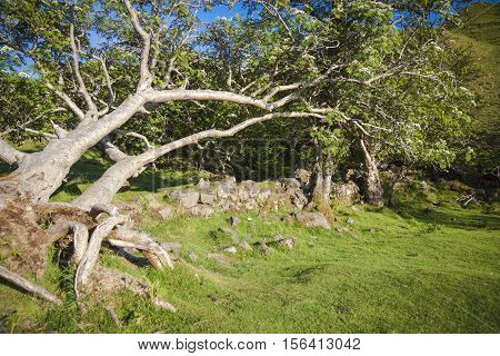 Trees and stone wall in Fairy Glen Isle of Skye Scotland