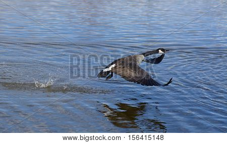 Canada Goose taking off and flying over lake