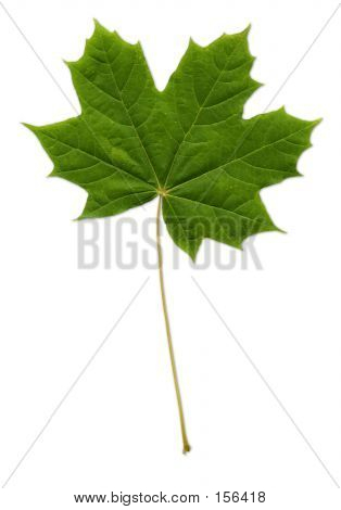 Maple Leaf (path Included)