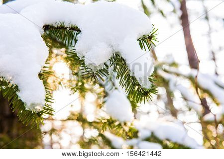 Christmas background with natural frost - fur tree in snow