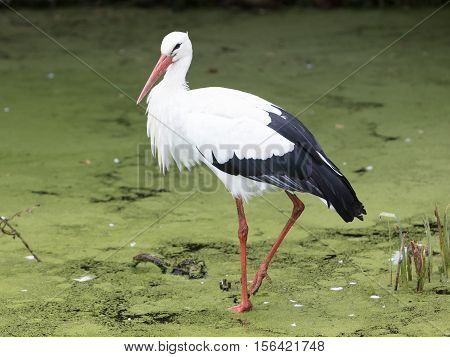 Stork Walking In A Pond Filled With Duckweed