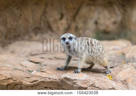 Single Meerkat Looking For Hunter Animal