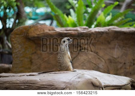 Single meerkat was standing ooking for hunter animal on stone