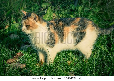 Colourful domestic tomcat among the grass and leaves at fall