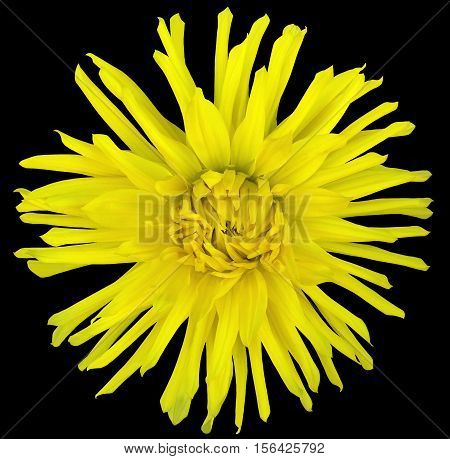 flower yellow on a black background isolated with clipping path. Closeup. big shaggy autumn flower. Aster .