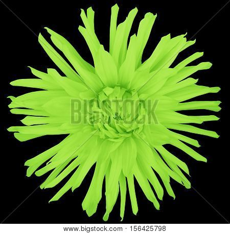 flower light green on a black background isolated with clipping path. Closeup. big shaggy autumn flower. Aster .
