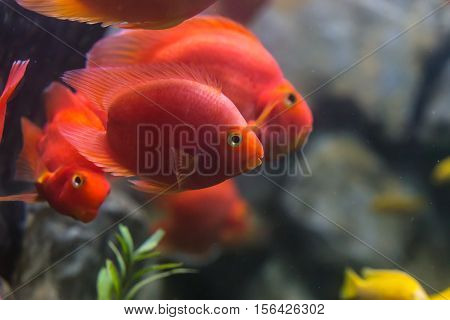 Love heart blood parrot cichild fish in aquarium
