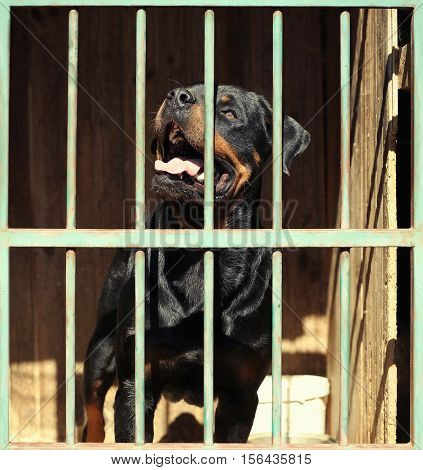 Sad homeless rottweiler in animal shelter cage
