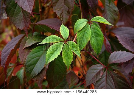 Colorful Leaves Of Virginia creeper (Parthenocissus Quinquefolia) As Fall Season Background poster