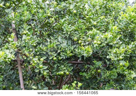 Green lemons hanging on tree in the farm