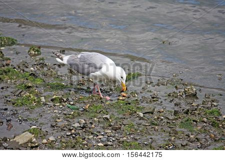 Seagull foraging for food at the waters edge