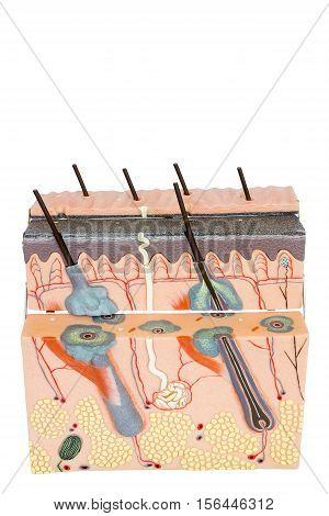 Educational model human skin tissue isolated on white background