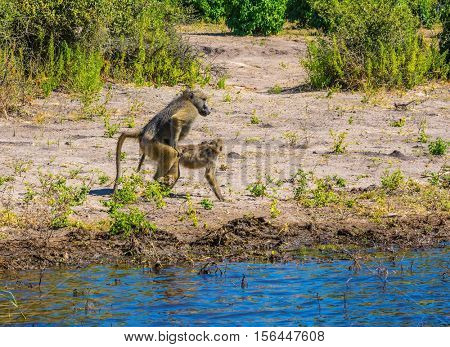Botswana, Chobe National Park on the Zambezi River. Two monkeys baboon at the watering. The concept of extreme and exotic tourism