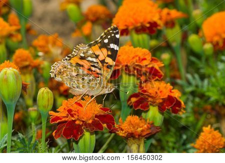 Painted Lady (Vanessa cardui) butterfly on a French marigold flower.