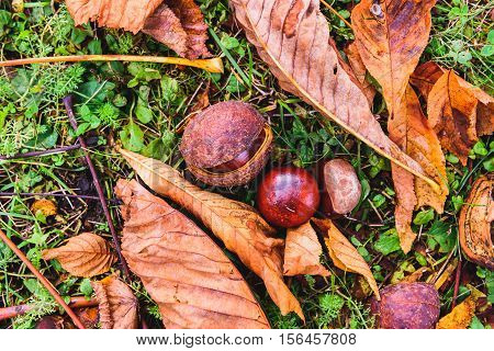 Horse Chestnut - Aesculus Hippocastanum On Forest Floor With Leaves.