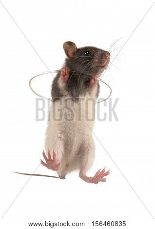 small rat isolated on a white background