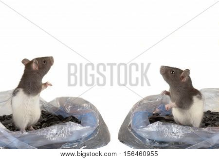 two grey rats isolated on a white background