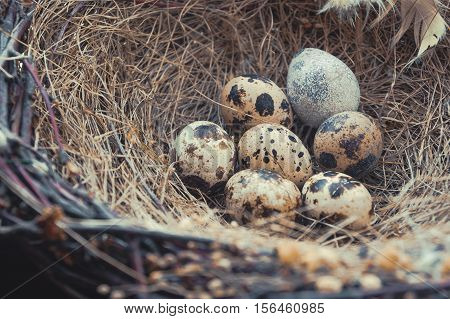 Close-up of bird's nest with quail eggs